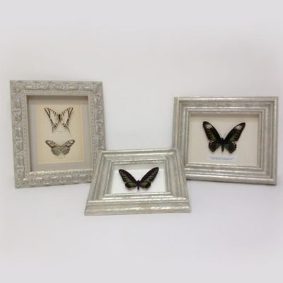 Butterfly Framing Berkshire